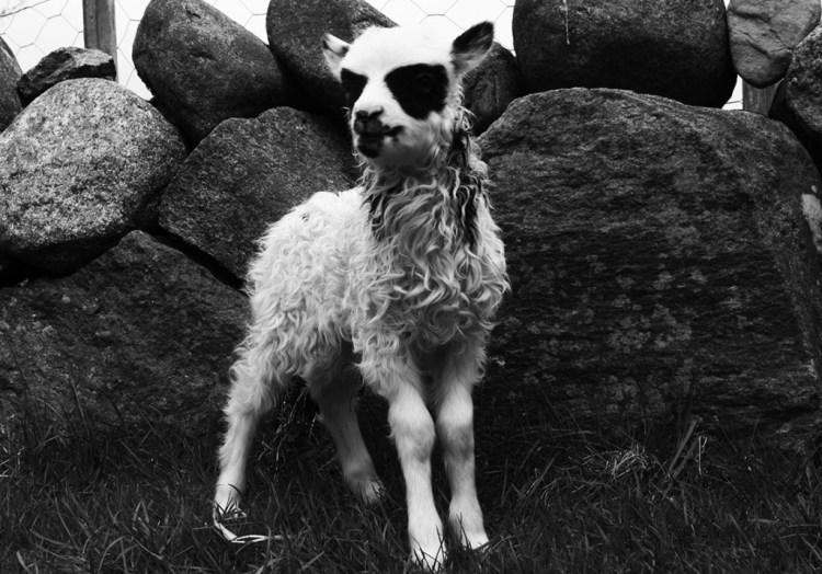 black metal lamb